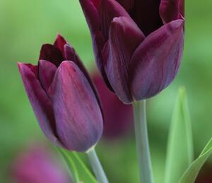 Tulipán Triumph 'Havran' - Tulipa Triumph 'Havran'