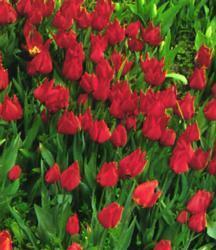 Tulipán raný 'Brilliant Star' - Tulipa Single Early 'Brilliant Star'