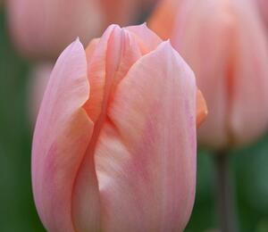 Tulipán raný 'Apricot Magic' - Tulipa Single Early 'Apricot Magic'