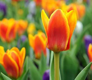 Tulipán Greigův 'Cape Cod' - Tulipa Greigii 'Cape Cod'