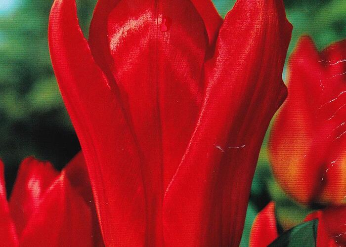 Tulipán Fosterův 'Madame Lefeber' - Tulipa Fosteriana 'Madame Lefeber'