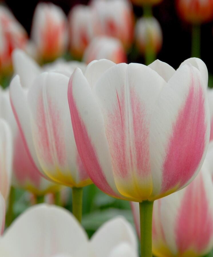 Tulipán Triumph 'Beau monde' - Tulipa Triumph 'Beau monde'