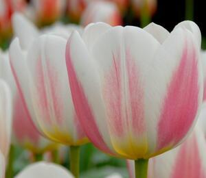 Tulipán 'Beau monde' - Tulipa Triumph 'Beau monde'