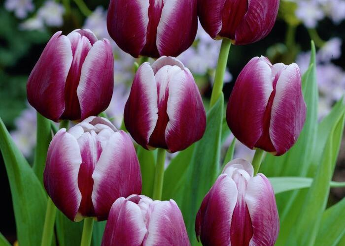 Tulipán Triumph 'Arabian Mystery' - Tulipa Triumph 'Arabian Mystery'