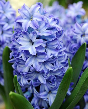 Hyacint 'Aqua' - Hyacinthus 'Aqua'