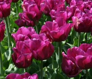 Tulipán Triumph 'Passionale' - Tulipa Triumph 'Passionale'