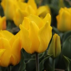 Tulipán Greigův 'Golden Tango' - Tulipa Greigii 'Golden Tango'