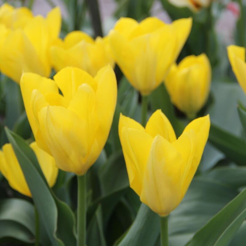 Tulipán Fosterův 'Yellow Purissima' - Tulipa Fosteriana 'Yellow Purissima'