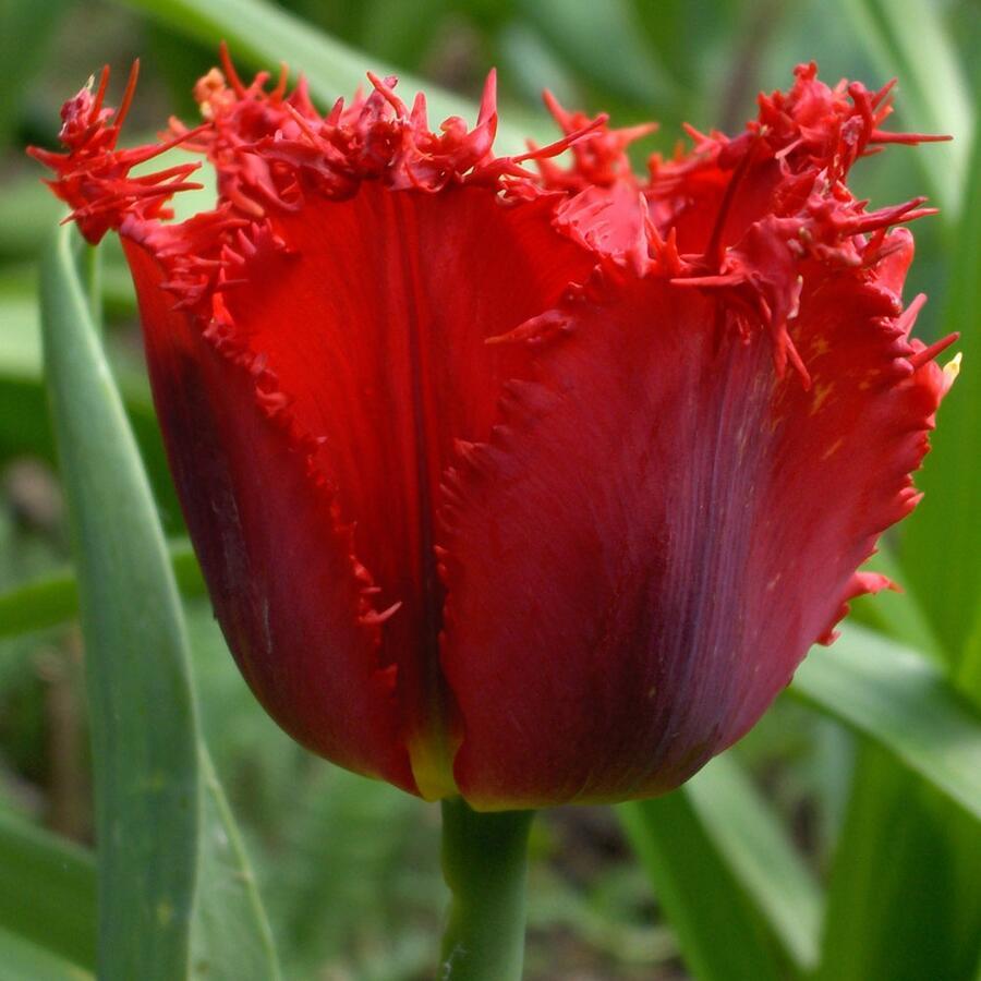 Tulipán třepenitý 'Valerij Gergiev' - Tulipa Fringed 'Valerij Gergiev'