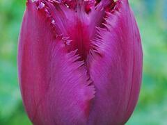 Tulipán třepenitý 'Curly Sue' - Tulipa Fringed 'Curly Sue'