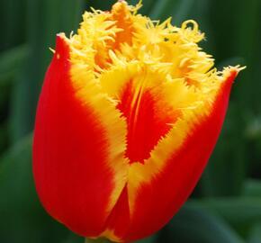 Tulipán třepenitý 'Davenport' - Tulipa Fringed 'Davenport'