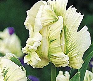 Tulipán papouškovitý 'Super Parrot' - Tulipa Parrot 'Super Parrot'