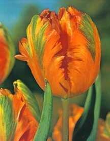 Tulipán papouškovitý 'Orange Favourite' - Tulipa Parrot 'Orange Favourite'