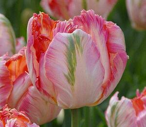 Tulipán papouškovitý 'Apricot Parrot' - Tulipa Parrot 'Apricot Parrot'
