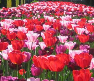 Tulipán Triumph 'Daily News' - Tulipa Triumph 'Daily News'