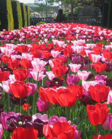 Tulipán 'Daily News' - Tulipa Triumph 'Daily News'