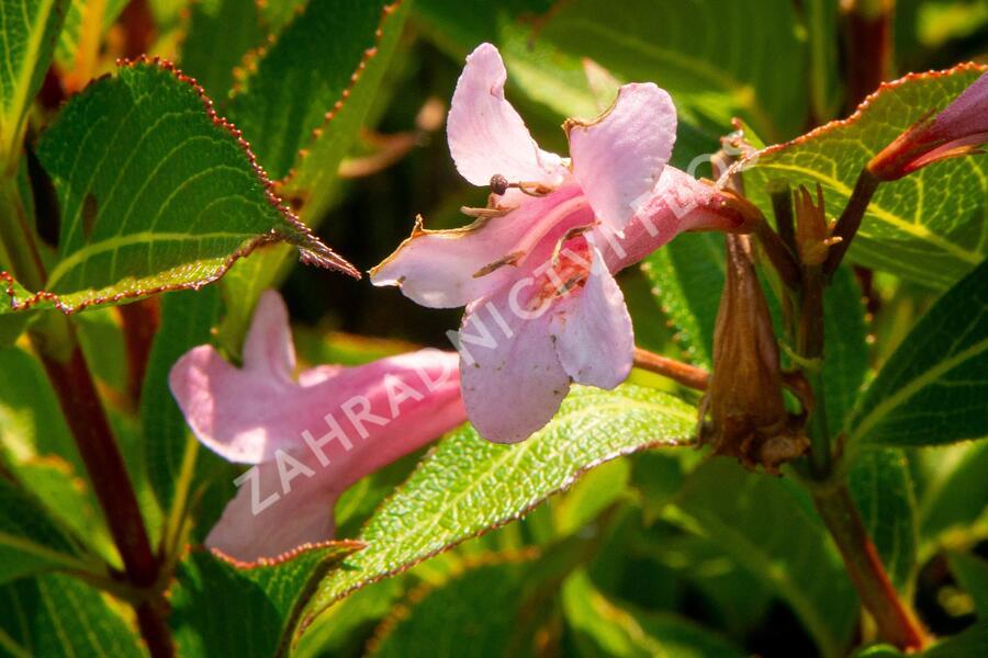 Vajgélie květnatá 'Pink Poppet' - Weigela florida 'Pink Poppet'