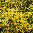 Cesmína obecná 'Golden DJ' - Ilex aquifolium 'Golden DJ'