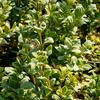 Zimostráz obecný 'Marginata' - Buxus sempervirens 'Marginata'