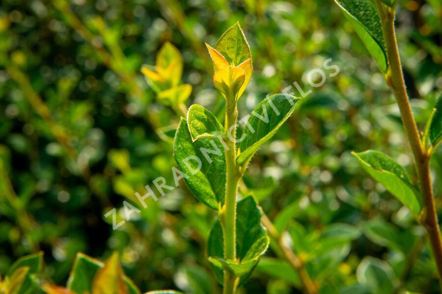 Skalník Simonův - Cotoneaster simonsii