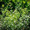 Vonokvětka - Osmanthus burkwoodii