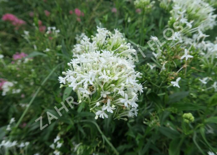 Mavuň červená 'Albiflorus' - Centranthus ruber 'Albiflorus'