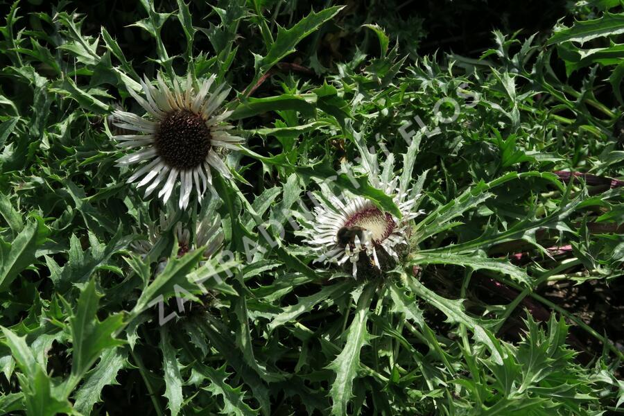 Pupava bezlodyžná - Carlina acaulis ssp.simplex