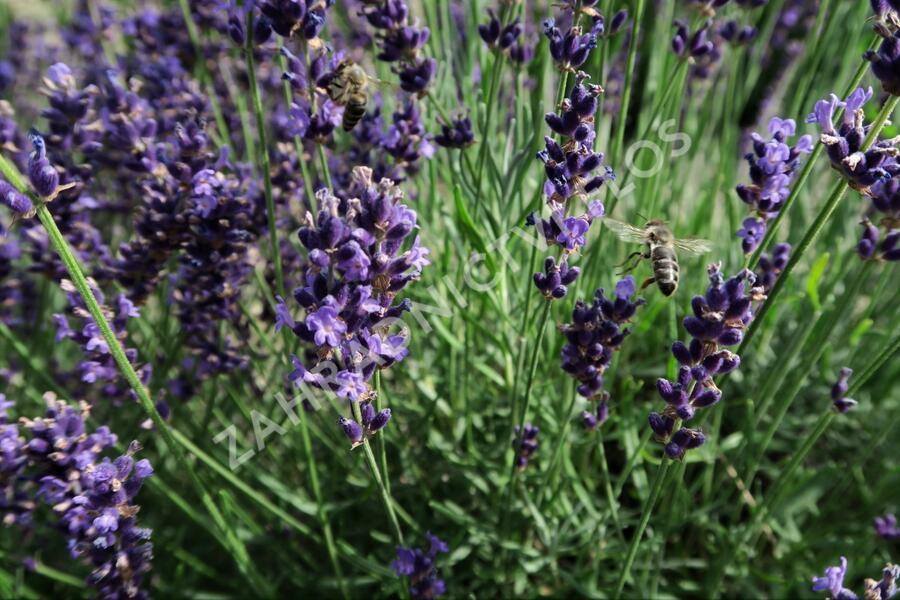 Levandule úzkolistá 'Imperial Gem' - Lavandula angustifolia 'Imperial Gem'