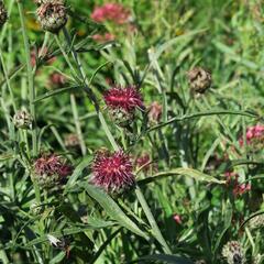 Chrpa - Centaurea atropurpurea