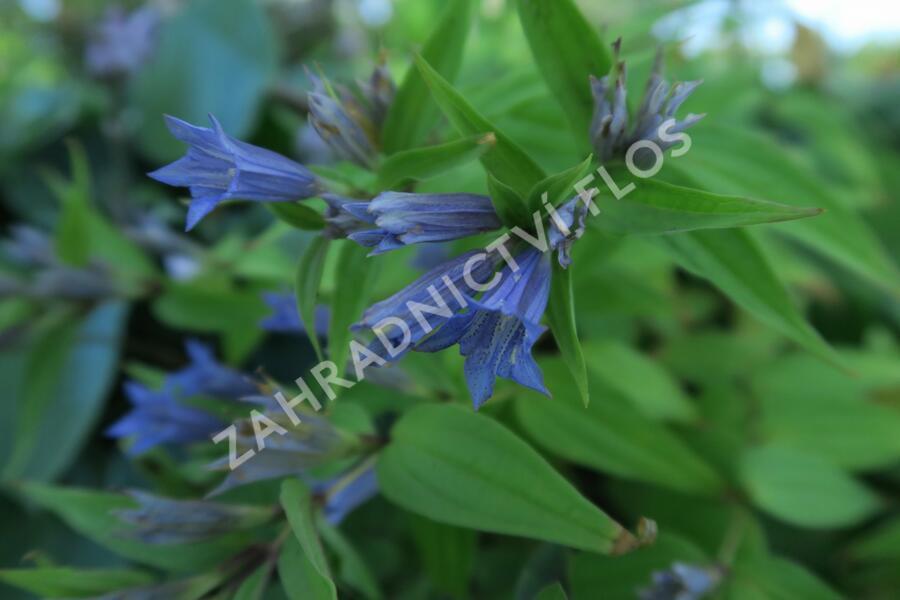 Hořec tolitovitý - Gentiana asclepiadea