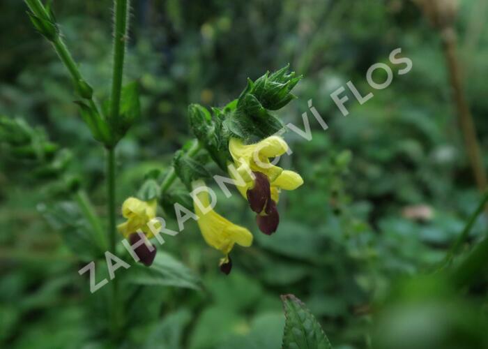 Šalvěj bulleyana - Salvia bulleyana