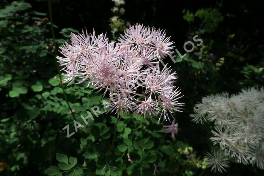 Žluťucha orlíčkolistá - Thalictrum aquilegifolium