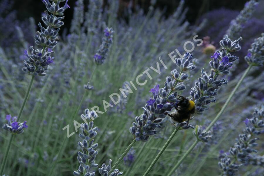 Levandule úzkolistá 'Lavenite Magic Molten Silver' - Lavandula angustifolia 'Lavenite Magic Molten Silver'