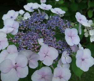 Hortenzie velkolistá 'Libelle' - Hydrangea macrophylla 'Libelle'