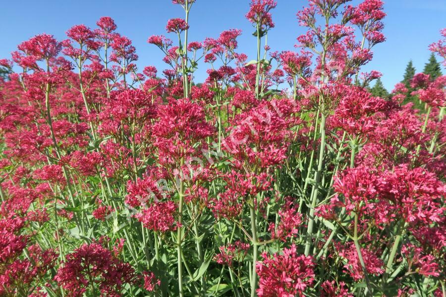 Mavuň červená 'Coccineus' - Centranthus ruber 'Coccineus'