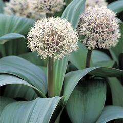 Česnek karatavský - Allium karataviense
