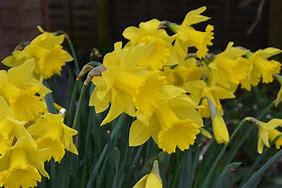 Narcis trubkovitý 'Golden Harvest' - Narcissus Trumpet 'Golden Harvest'