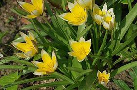Tulipán pozdní - Tulipa urumiensis