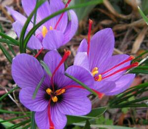 Krokus, šafrán setý - Crocus sativus