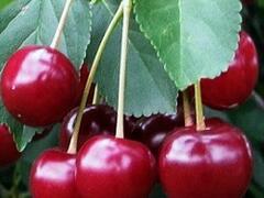 Višeň pozdní - kyselka 'Samor' - Prunus cerasus 'Samor'