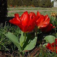 Tulipán Fosterův 'Princeps' - Tulipa Fosteriana 'Princeps'