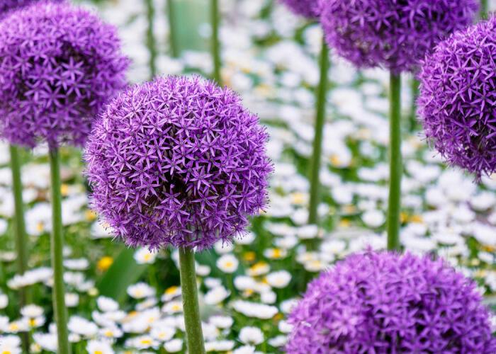 Okrasný česnek 'Gladiator' - Allium 'Gladiator'