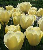 Tulipán Greigův 'Vanilla Cream' - Tulipa Greigii 'Vanilla Cream'