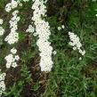 Tavolník popelavý 'Graciosa' - Spiraea cinerea 'Graciosa'