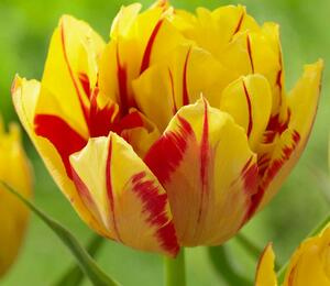 Tulipán plnokvětý raný 'Monsella'® - Tulipa Double Early 'Monsella'®