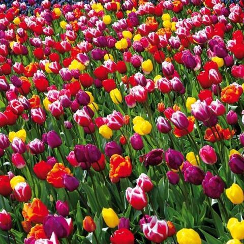 Tulipán Darwin hybrid mix - Tulipa Darwin hybrid mix