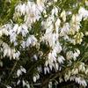 Vřesovec pleťový 'Snow Queen' - Erica carnea 'Snow Queen'