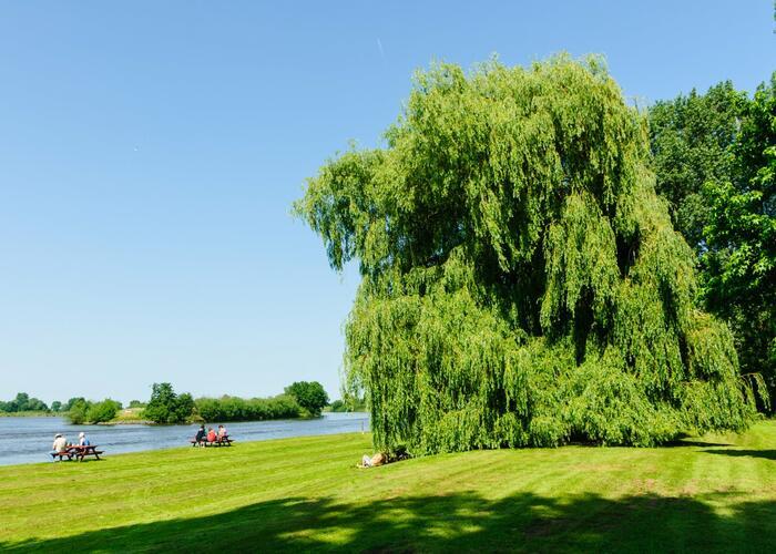 Vrba bílá - Salix alba