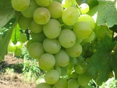 Réva vinná 'Talisman' - Vitis vinifera 'Talisman'