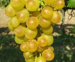 Réva vinná 'Prim' - Vitis vinifera 'Prim'